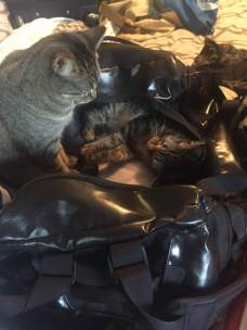 cats helping to pack